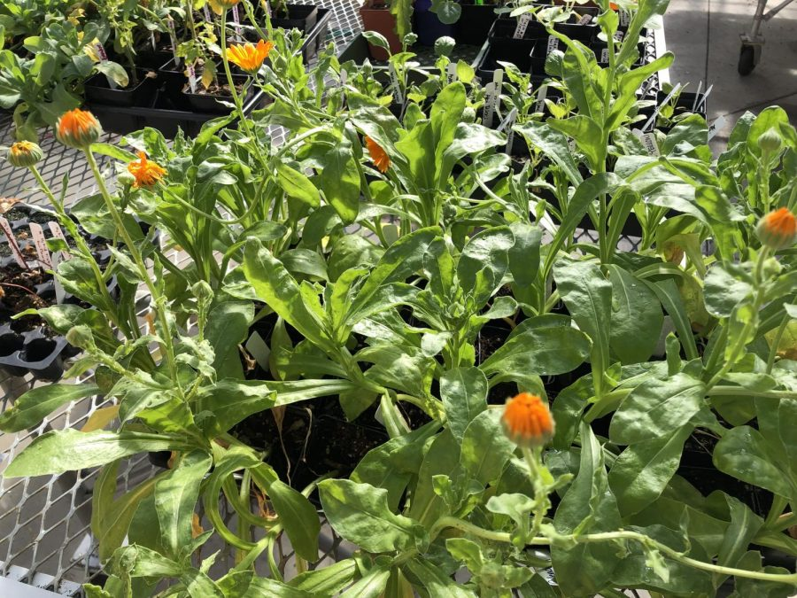 Calendulas being grown in the greenhouse