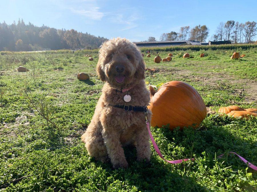 Pooches and Pumpkins